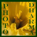 daffodils by photodharma