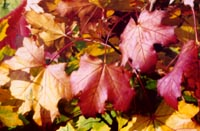 click here to see autumn splendor